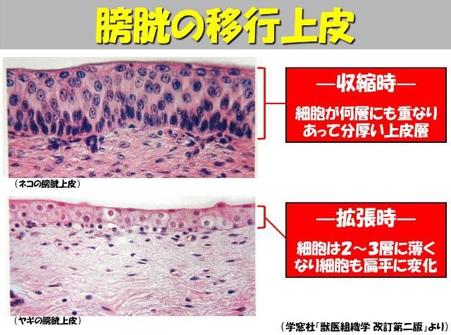 牛の解剖102:膀胱(4)   有限会社シェパード中央家畜診療所