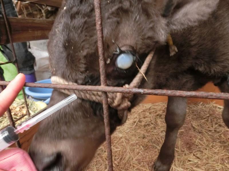 用 ステロイド 牛